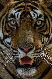 tiger9-26